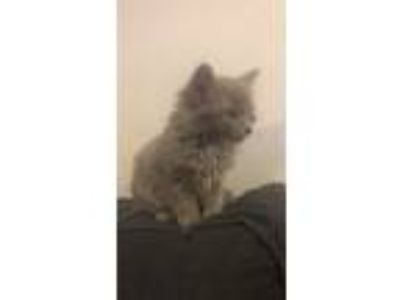 Adopt Olly a Gray, Blue or Silver Tabby Maine Coon cat in Los Angeles