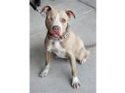 Adopt Diggory a Pit Bull Terrier