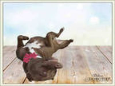 Adopt CALLIE a Brown/Chocolate - with White American Pit Bull Terrier / Mixed