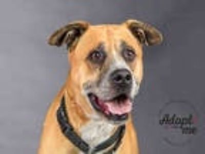 Adopt ROCKO a Red/Golden/Orange/Chestnut - with White Boxer / Mixed dog in