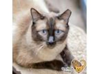 Adopt Estonia a Brown or Chocolate Siamese / Domestic Shorthair / Mixed cat in