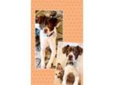 Adopt Queenie a White - with Brown or Chocolate Rat Terrier / Mixed dog in Genoa