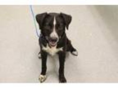 Adopt Waterfall a Black Border Collie / Mixed dog in Longview, TX (25885291)