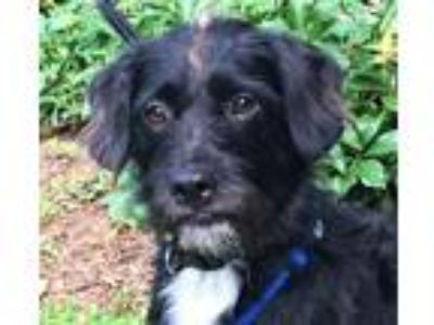 Adopt MAX a Black - with White Standard Schnauzer / Mixed dog in Point Pleasant
