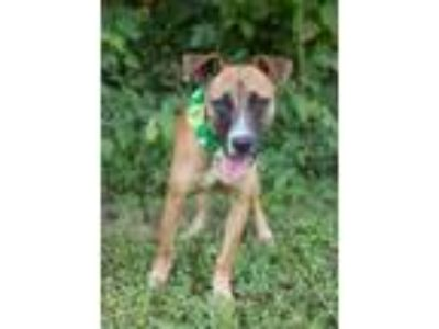 Adopt Dale a Brown/Chocolate Shepherd (Unknown Type) / Hound (Unknown Type) /