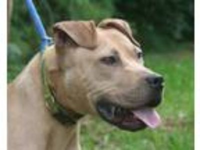 Adopt #5137 a Tan/Yellow/Fawn American Pit Bull Terrier / Mixed dog in Lebanon