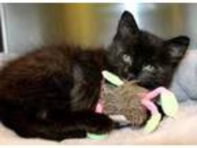Adopt Tootles a All Black Domestic Longhair / Domestic Shorthair / Mixed cat in