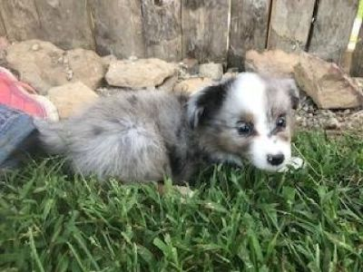 Chet: Male Aussie Sheltie Mini Mix