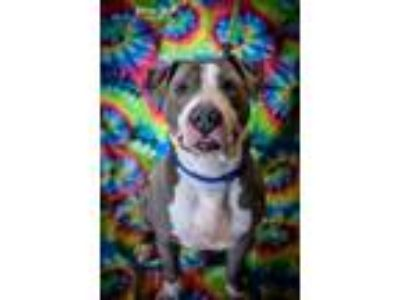 Adopt Sarge a Pit Bull Terrier