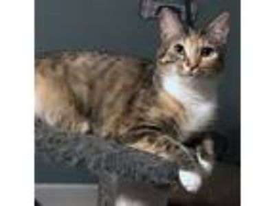 Adopt Cairo a Calico or Dilute Calico Calico / Mixed cat in Garner