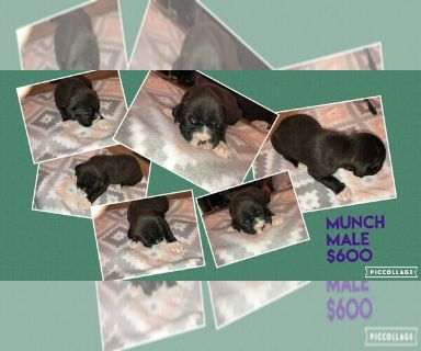Boxer PUPPY FOR SALE ADN-129955 - Reverse Sealed Brindle Male