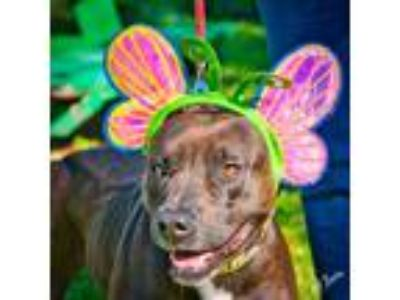 Adopt Olive a Black - with White Pit Bull Terrier / Mixed dog in Brunswick