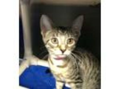 Adopt BLOSSOM a Domestic Short Hair