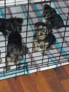 Yorkshire Terrier PUPPY FOR SALE ADN-109149 - Pure breed Yorkies for sale