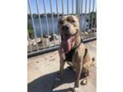 Adopt Harley a Brindle American Pit Bull Terrier / Labrador Retriever dog in