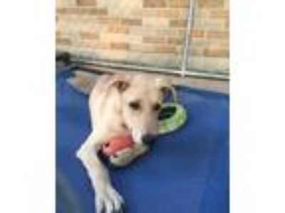 Adopt Dune a White - with Tan, Yellow or Fawn Retriever (Unknown Type) / Whippet