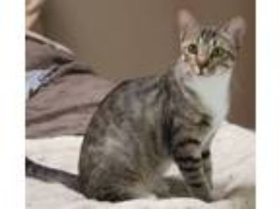 Adopt Blossom a Brown Tabby Domestic Shorthair (short coat) cat in Flower Mound