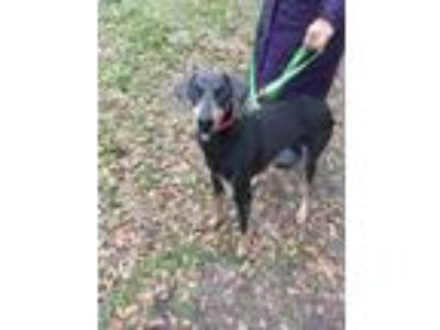 Adopt Zelda a Gray/Blue/Silver/Salt & Pepper Doberman Pinscher / Mixed dog in