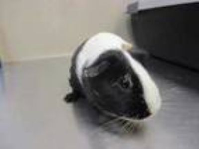 Adopt Billie w/ Toddy a Black Guinea Pig / Guinea Pig / Mixed small animal in