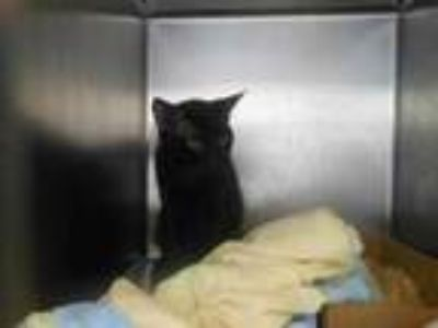 Adopt Salem a All Black Domestic Shorthair / Domestic Shorthair / Mixed cat in
