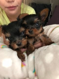 Yorkshire Terrier PUPPY FOR SALE ADN-89604 - TeaCup Yorkies