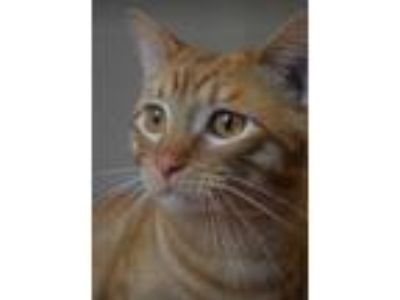 Adopt Juice a Tabby, Domestic Short Hair