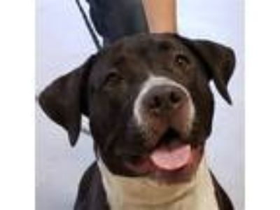 Adopt Frida a Pit Bull Terrier