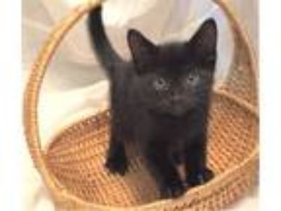 Adopt Shadow- I Can Be A Friend To Your Young Cat! a Domestic Short Hair, Bombay