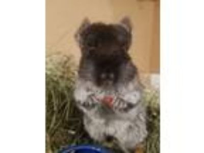 Adopt Mimi a Black Chinchilla small animal in Lindenhurst, NY (24010162)