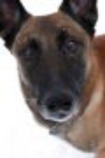 Bowie Belgian Shepherd / Malinois Dog