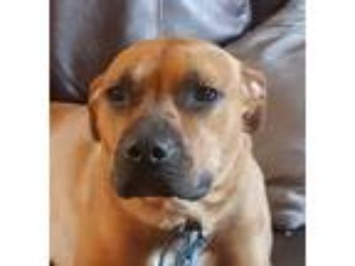 Adopt CASEY a Black - with White Boxer / Terrier (Unknown Type