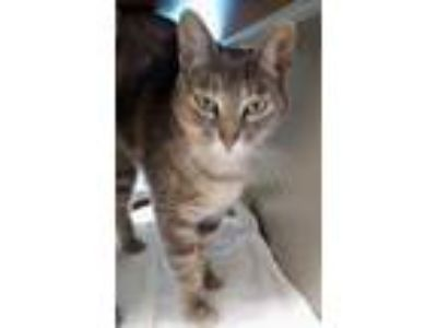 Adopt CLEO a Tortoiseshell Domestic Shorthair / Mixed (short coat) cat in