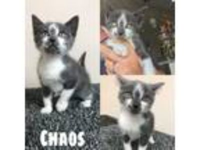 Adopt Chaos a Domestic Short Hair