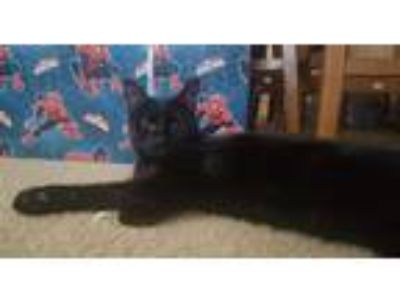 Adopt Elizabeth a All Black Domestic Shorthair (short coat) cat in Toms River