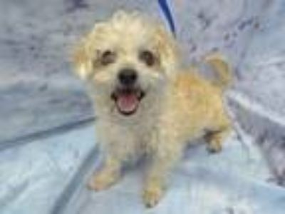 Adopt Biscuit a Poodle