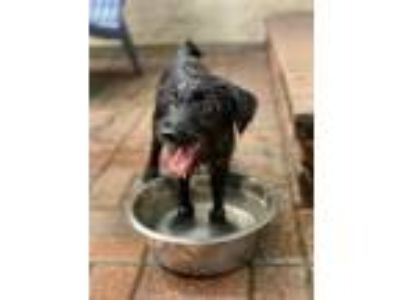 Adopt Grover a Wirehaired Terrier