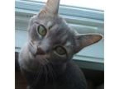 Adopt Squirt a Gray, Blue or Silver Tabby Domestic Shorthair (short coat) cat in