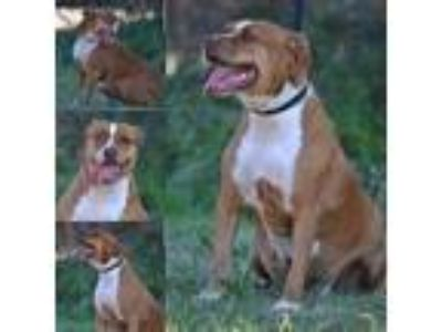 Adopt Electra a Mixed Breed, Pit Bull Terrier