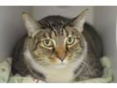 Adopt Dolores a Domestic Short Hair