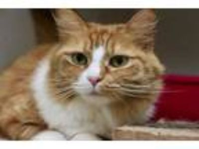 Adopt GINGER a Orange or Red (Mostly) Domestic Longhair / Mixed (long coat) cat