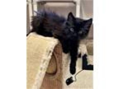 Adopt Kitten Quinn a Domestic Long Hair