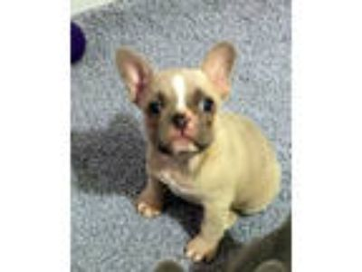 Bailey French Bulldog Puppy For Sale