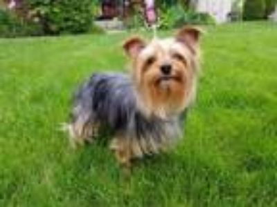 Adopt Ralph a Yorkshire Terrier, Mixed Breed