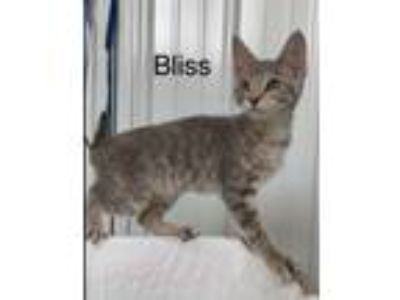 Adopt Bliss a Domestic Shorthair / Mixed (short coat) cat in Hartford City