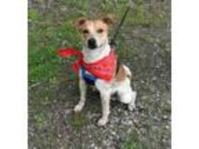 Adopt Hutch a Brown/Chocolate Australian Cattle Dog / Jack Russell Terrier /