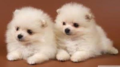 adorable Pomeranian