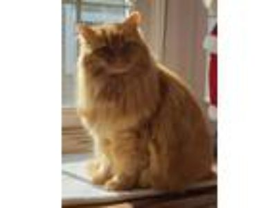 Adopt Nala a Orange or Red Tabby Domestic Longhair (long coat) cat in