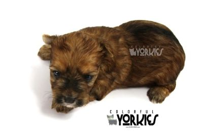 Yorkshire Terrier PUPPY FOR SALE ADN-78762 - Troy