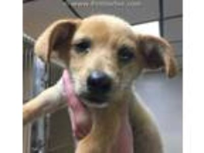Adopt YODA a Tan/Yellow/Fawn Jack Russell Terrier / Mixed dog in Lincolnton