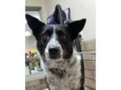 Adopt Ellie a Australian Cattle Dog / Blue Heeler, Border Collie